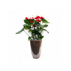 관엽식물-안시리움-72